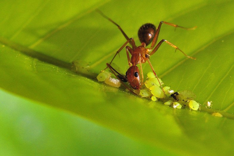 Ant-tending-to-aphids-XL