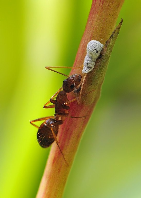 Ant-tending-to-mealybug-XL