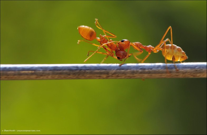 Ants-carrying-ants-XL