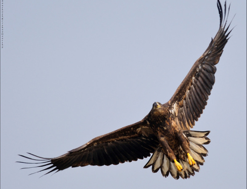 White tailed eagle – the vagrant