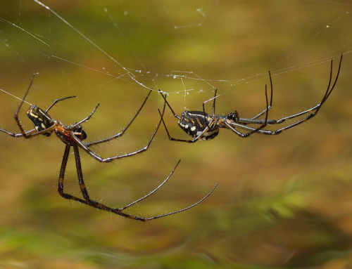 Long jawed spiders – 16 legged love affair