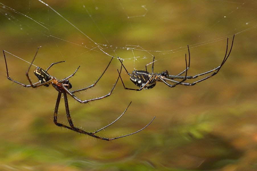 Big-bellied Spiders