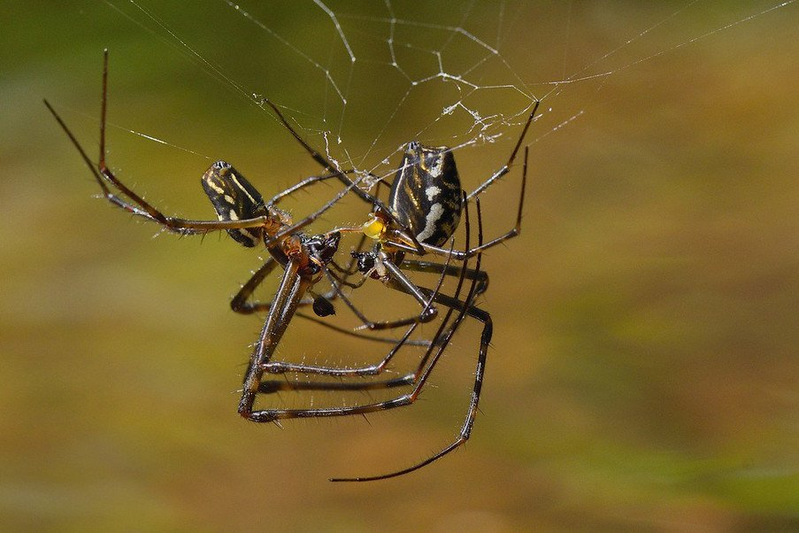 Long jawed spiders mating