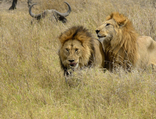 Two lions and a herd