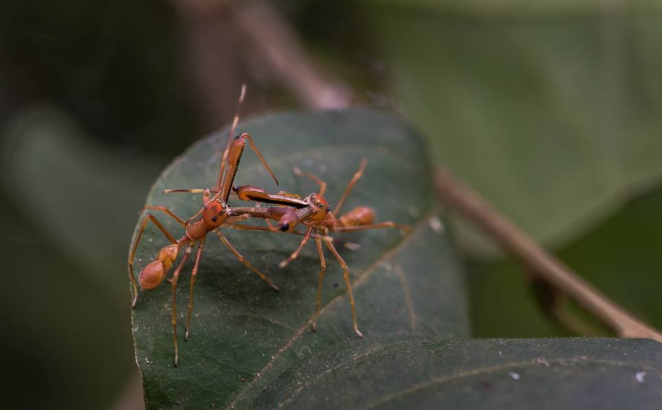 Ant-mimic-spider-fight-3