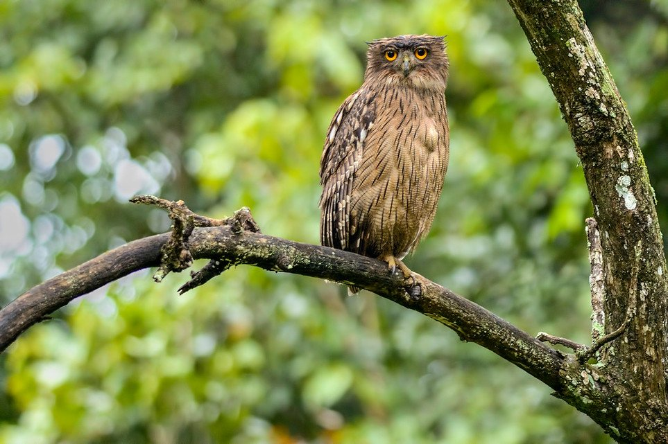 Brown-Fish-Owl-2
