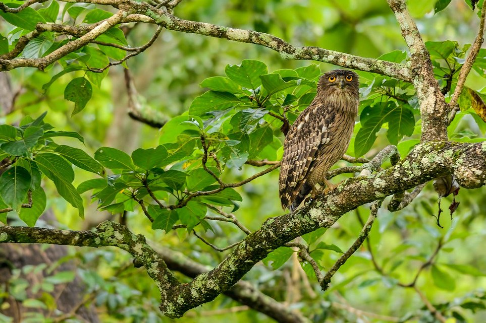 Brown-Fish-Owl-4