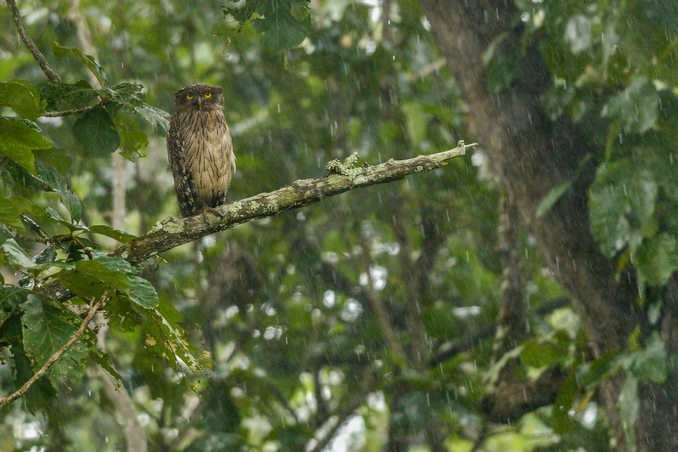 Brown-Fish-Owl-in-rain