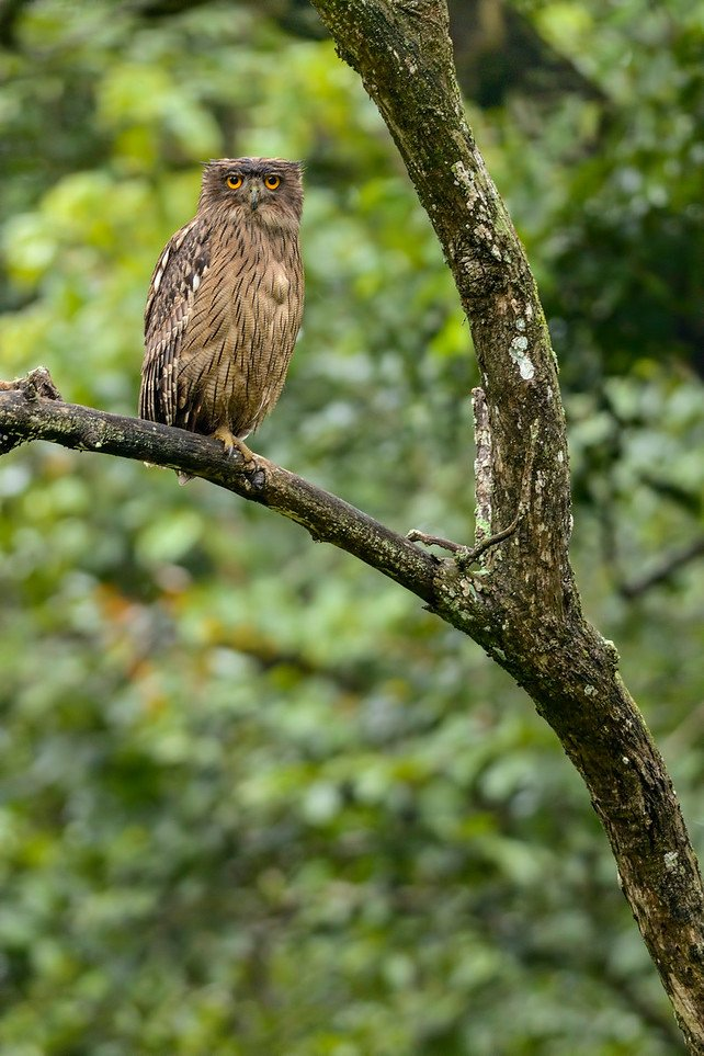 Brown-Fish-Owl-3