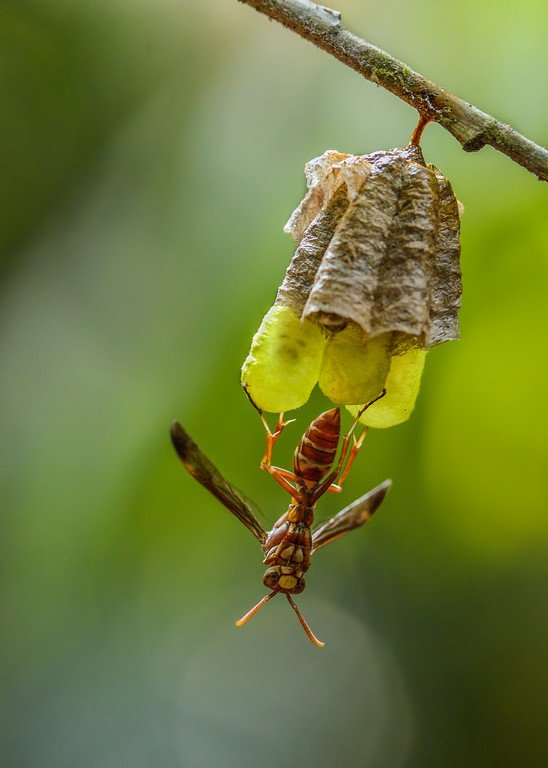 Paper-wasp-standing-guard