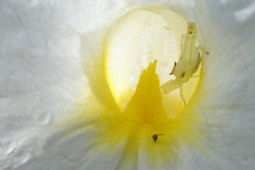 spiders-crab-spider-awaits-prey