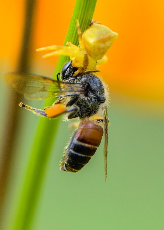 spiders-crab-spider-with-bee-kill-death-grip