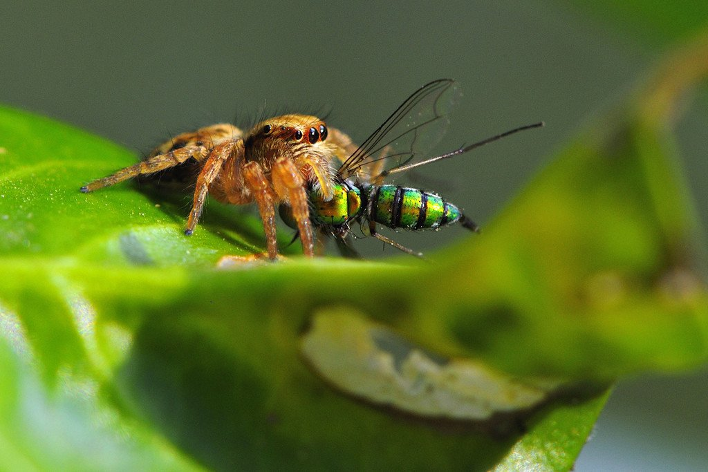 spiders-jumping-spider-with-long-legged-fly-kill
