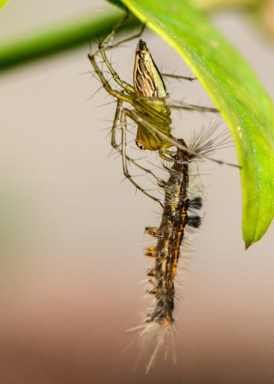 lynx-spider-with-caterpillar-kill