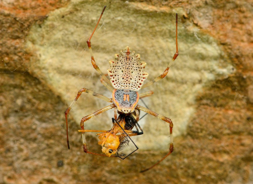 ornamental-tree-trunk-spider-with-kill-xl