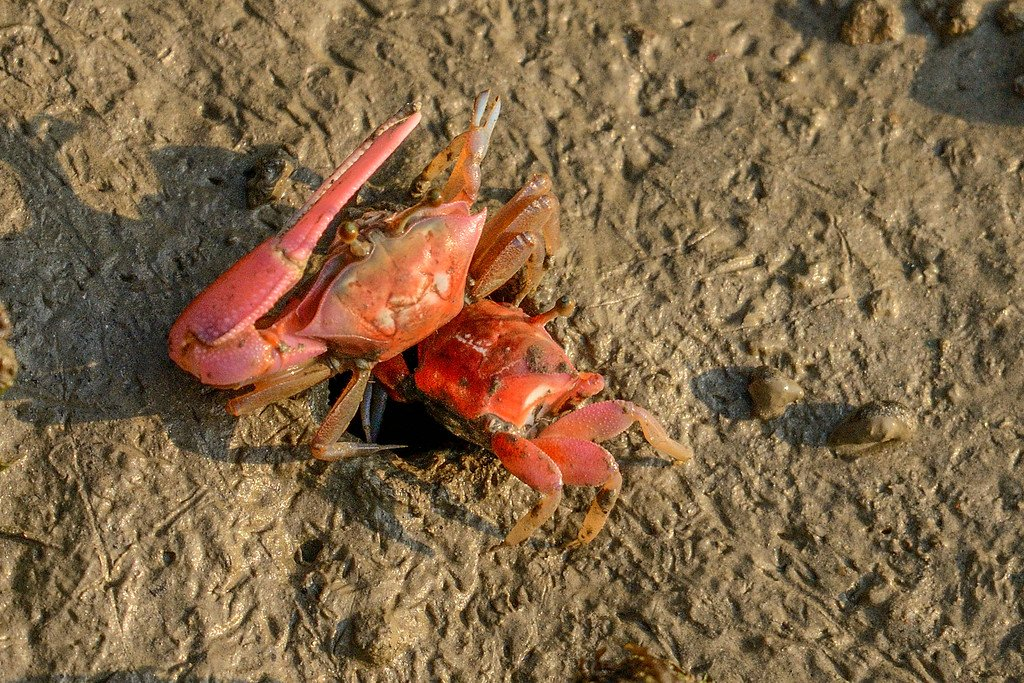 fiddler-crabs-entering-home