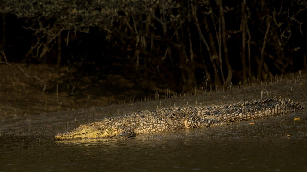 salt-water-crocodile-sundarbans