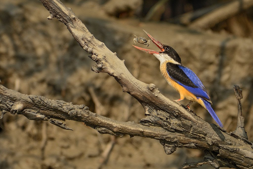 black-capped-kingfisher-with-crab-kill