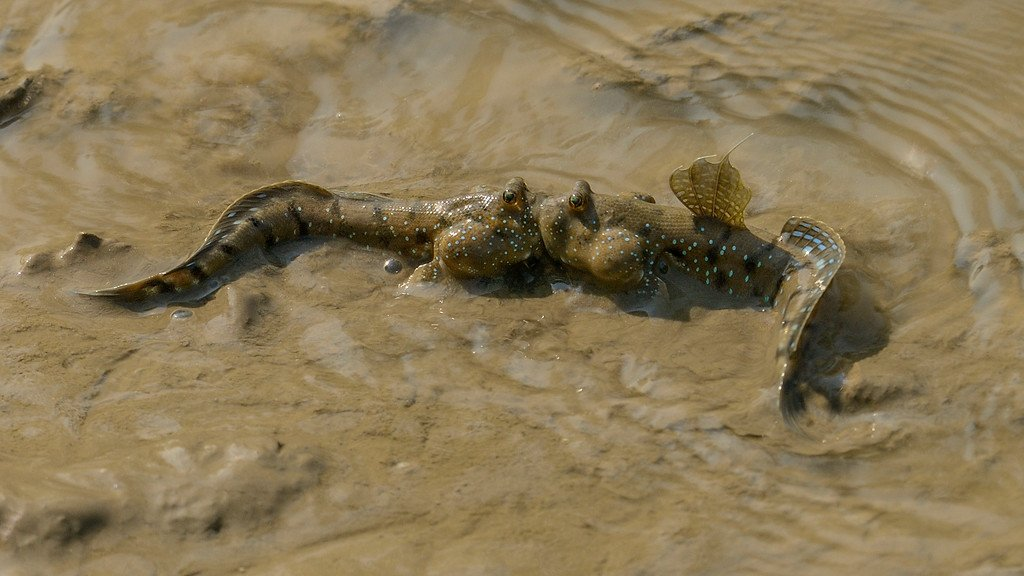 mudskippers-fighting-2