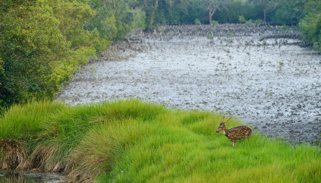 spotted-deer-sundarbans