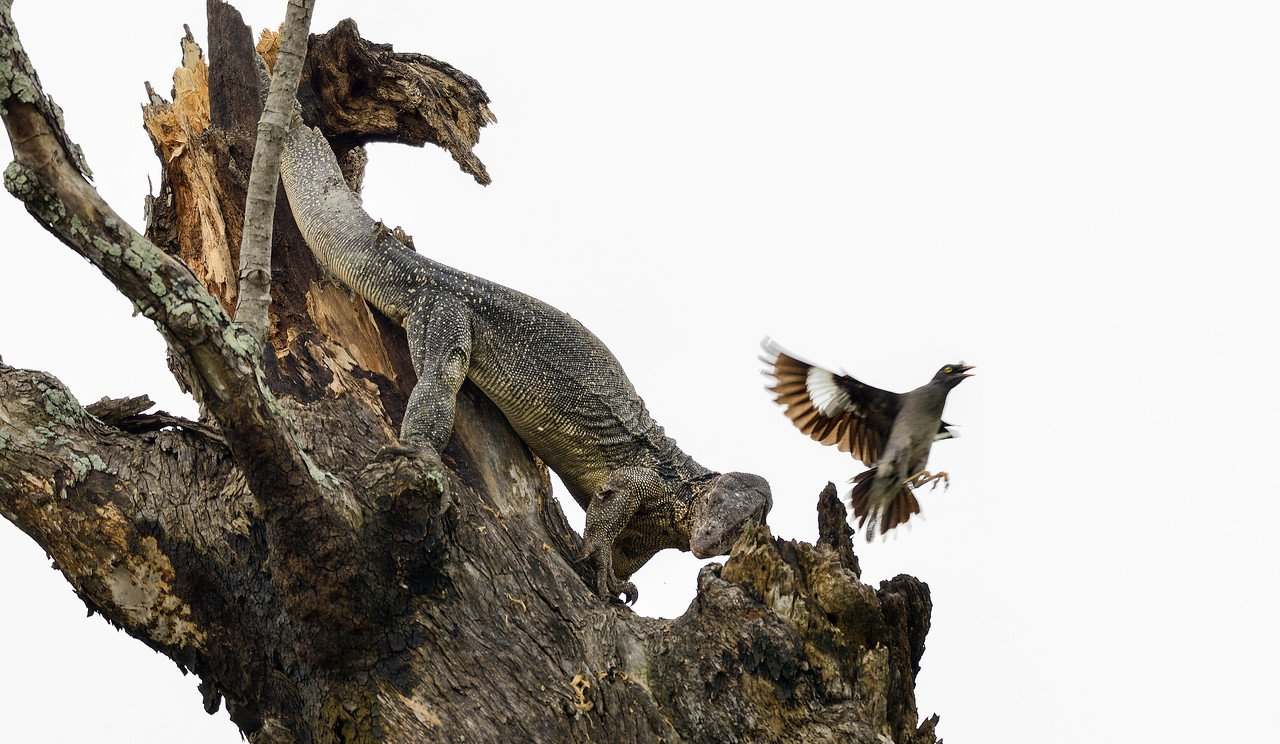 Monitor-Lizard-raiding-myna-nest1