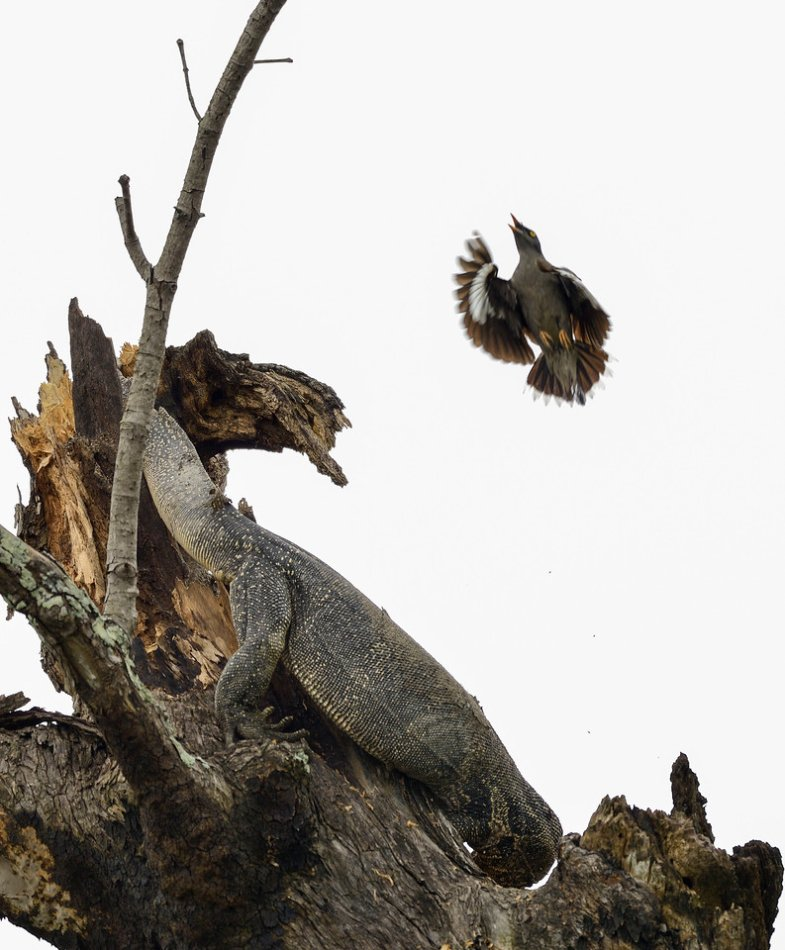Monitor-Lizard-raiding-myna-nest4